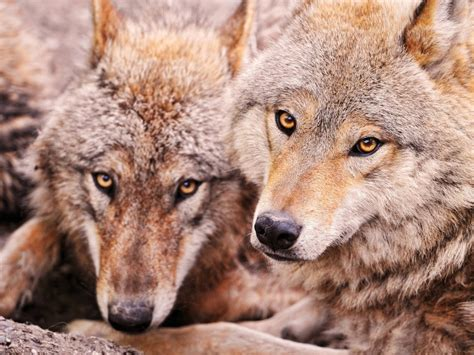 lobos fondos de pantalla de lobos wallpapers hd
