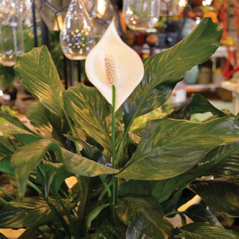 toxic spathiphyllum houseplants lily peace common plants