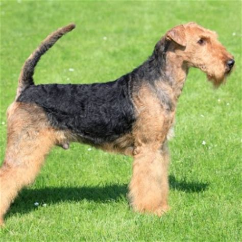 do airedale terriers shed lhasa apso petstarter