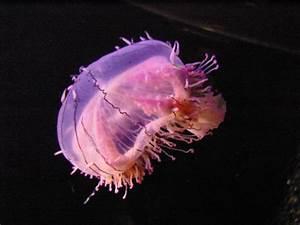 Flower Hat Jellyfish | FuzzyOpinions.com