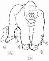 Gorilla Coloring Pages Printable Animals Colouring Library sketch template