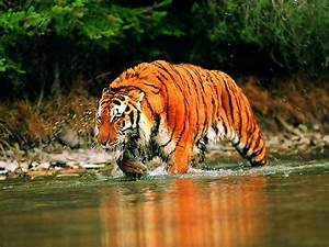 Species New to Science: [Conservation • 2013] Human–Tiger ...