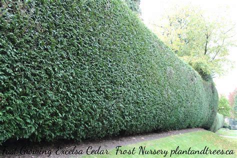 fast growing hedging cedars vancouver frost nursery