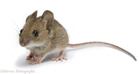 Mouse Wallpapers High Quality  Download Free