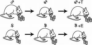 Effects Of Gonadectomy And Gonadal Steroid Hormones On Feeding  Males