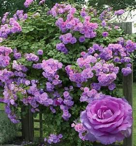Rosier Grimpant Remontant : rosier grimpant violette parfumee dorientsar plante en ligne ~ Melissatoandfro.com Idées de Décoration