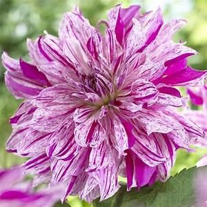 Quand Planter Des Dahlias : bulbs to blooms ~ Nature-et-papiers.com Idées de Décoration