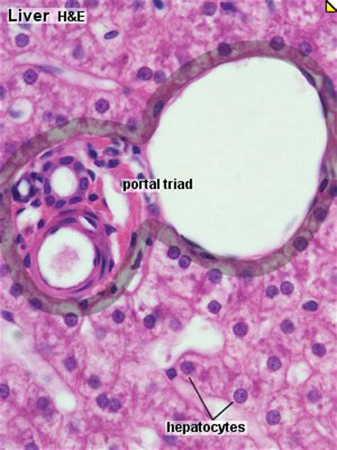 gastrointestinal tract liver histology embryology