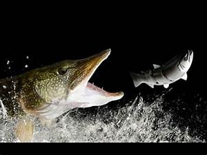 Top 10 Pike Attacks - YouTube