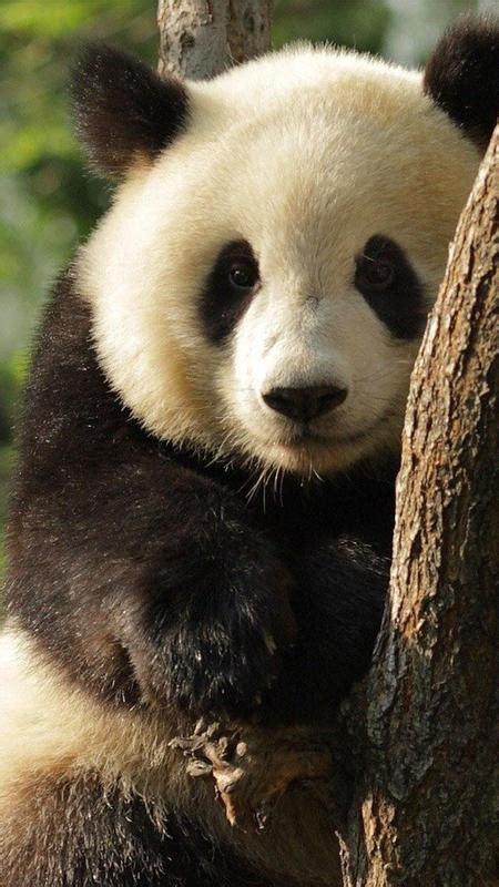 oso panda fondo animado  android apk