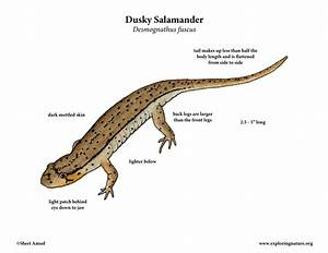 Salamander Dissection Diagram Diagram Of The Salamander Chim