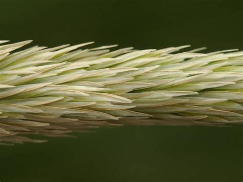ammophila arenaria marram grass grass images
