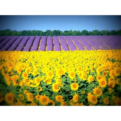 Go Out There...: The beautiful Sunflower & Lavender Field