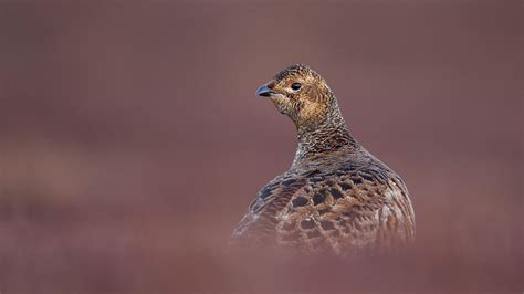 Black Grouse Facts And Information Trees For Life