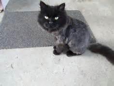 Vito persian cat rescue lion cut 2 | taupe & black ...
