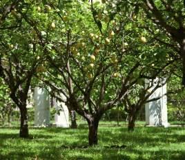 lemon tree lifespan what is the average lifespan of lemon trees