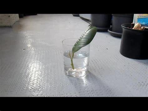 video gummibaum ableger ziehen