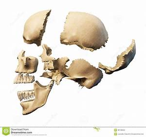 Human Skull With Parts Exploded  Stock Illustration