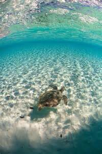 Bahamas Ocean Sea Turtle