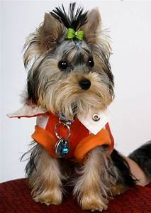suitable food for your yorkshire terrier annie many With best wet dog food for yorkies