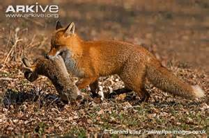 Red Fox Eating Rabbit