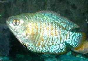 types  pet fish salmans pets
