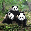 What's Wrong with Giant Pandas?