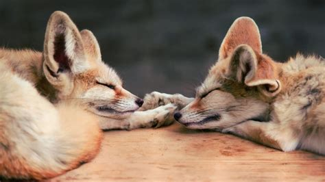excellent hd fennec fox wallpapers