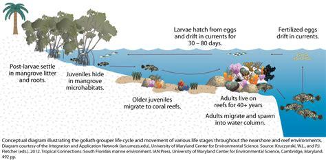 grouper goliath cycle ecosystem fish atlantic diagram human facts umces wildlife dynamics virginia lifecycle ian value environment