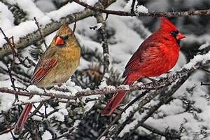 Pair Of Cardinals In Winter Photograph by Peg Runyan