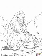 Gorilla Coloring Western Lowland Orangutan Pages Template Printable Mountain Gorillas Sketch Chimpanzee Drawing Realistic Colorings Bornean Getcolorings Ape Supercoloring Print sketch template