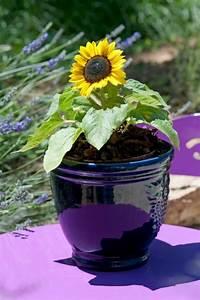 Sonnenblume Im Topf : sonnenblume im topf tipps f r die pflege ~ Orissabook.com Haus und Dekorationen