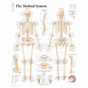 The Skeletal System Anatomy