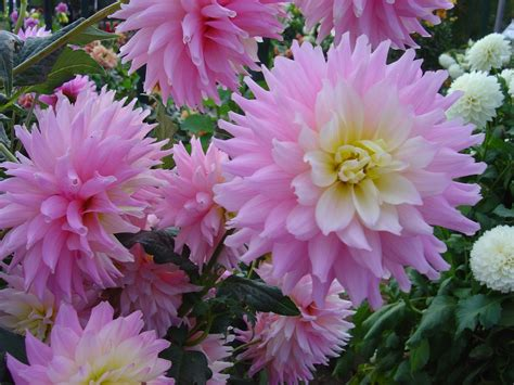 my weeds are sorry dahlias in pots