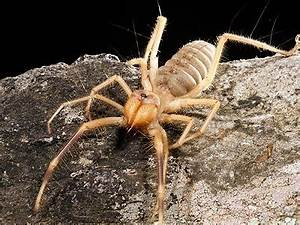 Giant camel spider - again, not a real spider, but it will ...