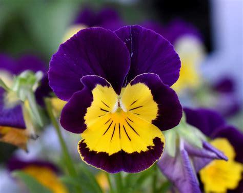 fiori pensiero viola pensiero fiore e 183 foto gratis su pixabay
