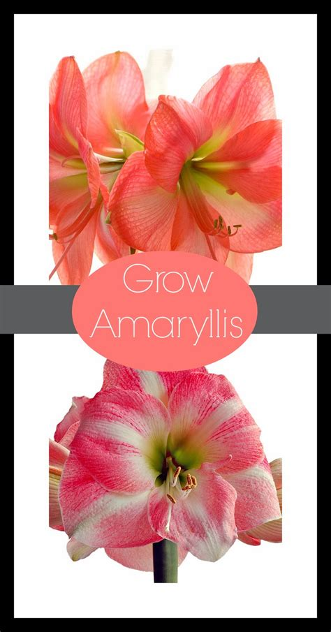 how to grow amaryllis daily appetite