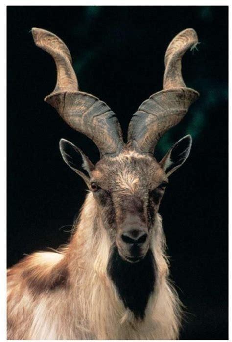 Magnificent Horned Animals In The World Wild Mammals