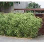 bambou non traçant pour haie sp 233 cial haie de bambous non tra 231 ants 2m et plus