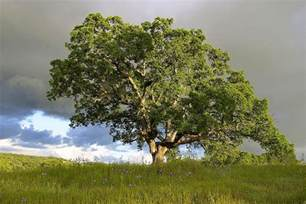 national tree the mighty oak
