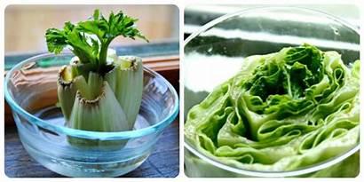 Scraps Regrown Foods Onions Regrow Lettuce Grow