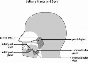 Simple Diagram Of The Salivary Glands
