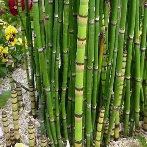 Vente De Plantes En Ligne Pas Cher : pr le pr le du japon vente en ligne de plants de pr le ~ Premium-room.com Idées de Décoration