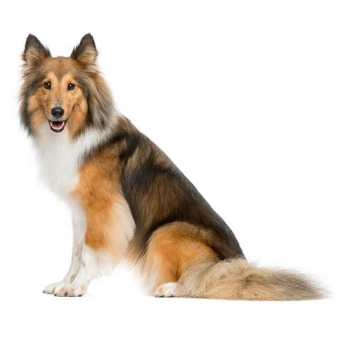 shetland sheepdog shed sheltie breed 187 everything about shelties