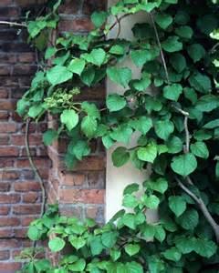 Climbing Vine Plants Flowers
