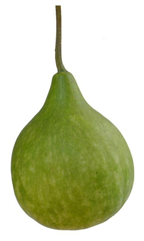 gourd ls upo lagenaria siceraria bottle gourd white pumpkin philippine medicinal herbs philippine