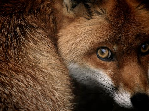 wallpaper red fox national geographic hd animals