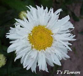shasta crazy daisy seeds pack leucanthemum maximum