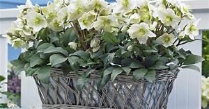 Balkonpflanzen Winterfest Machen : winterharte balkonpflanzen pflegeleichter topfschmuck ~ Watch28wear.com Haus und Dekorationen