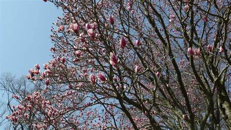 ornamental magnolia tree beautiful ornamental pink tulip magnolia tree stock footage video 3767645 shutterstock